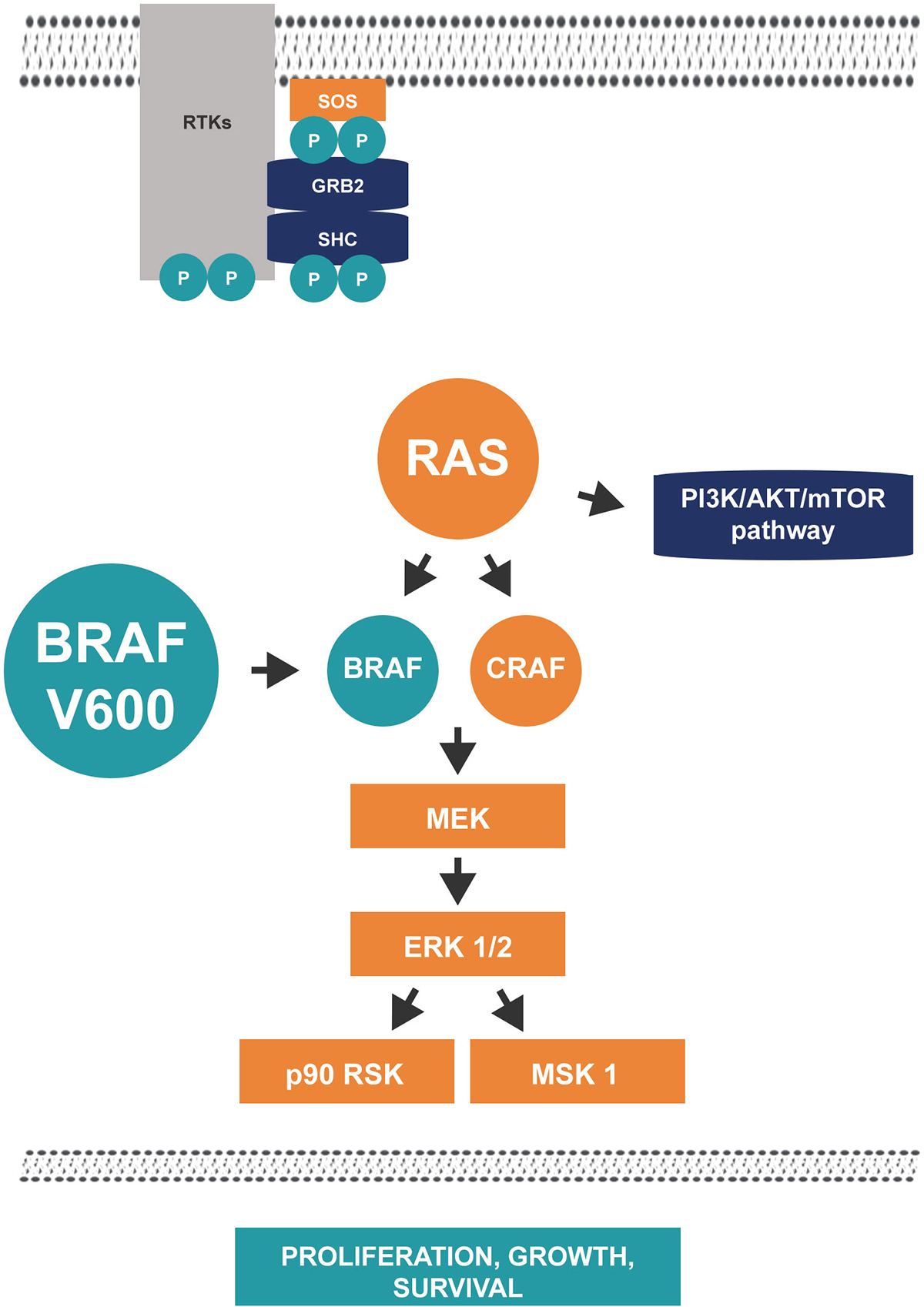 An image to represent the role of BRAF in the RAS/RAF/MEK/ERK signalling pathway